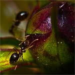 Ants on a Peony