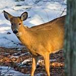 Deer Peer