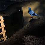 Pigeon Reflection