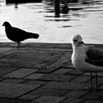 Birds of Contrast