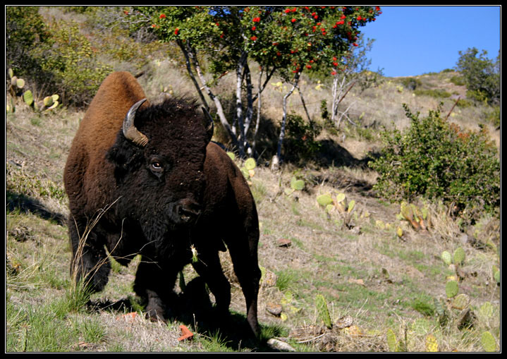I'm a Bison, not a Buffalo