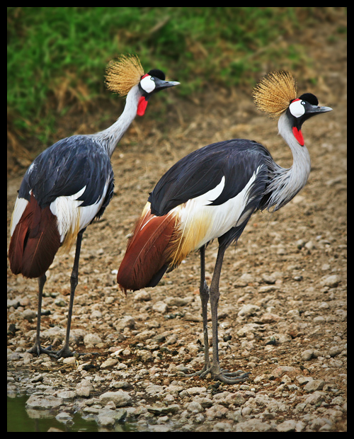 Crowned Cranes in Color
