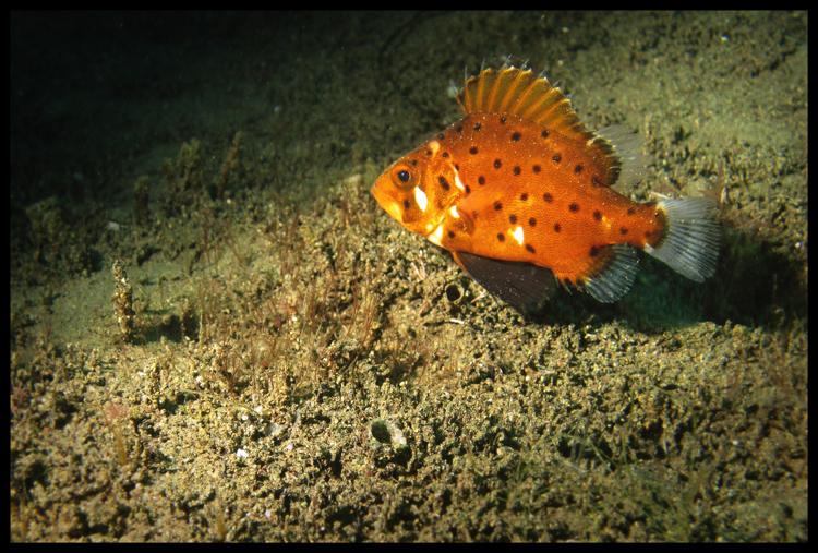 Not-Yet Giant Black Sea Bass