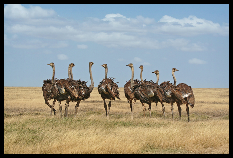 Ostriches and Chirping